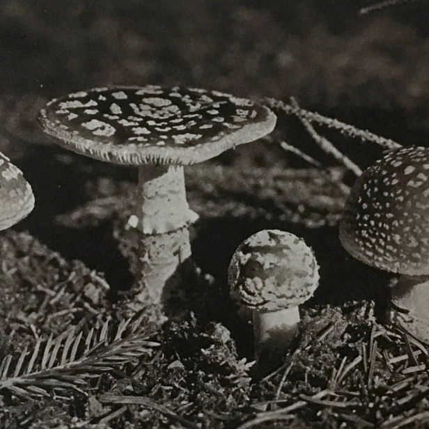 Even I know that this mushroom is poisonous